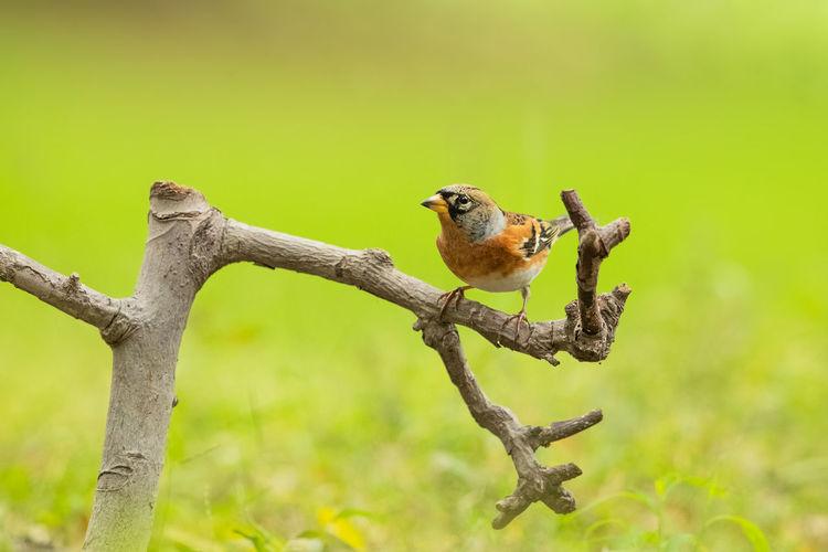 【扬州魔术林】燕雀 Bird