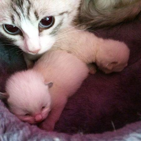 Глазки открылись!!!! Cat мои кошки, питомник невских маскарадных невак на двине