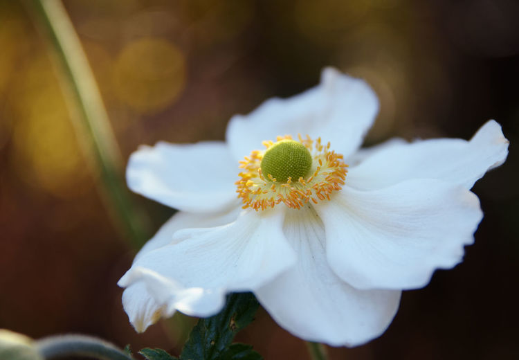 white flower of a japanese anemone (Anemone hupehensis) against a dark background with copy space, close up Flower White Japanese  Anemone Blooming Petal Close Up Flowering Plant Fragility Plant Growth Pollen Yellow Day No People Inflorescence Beauty In Nature Flower Head Nature Timbletweed Garden