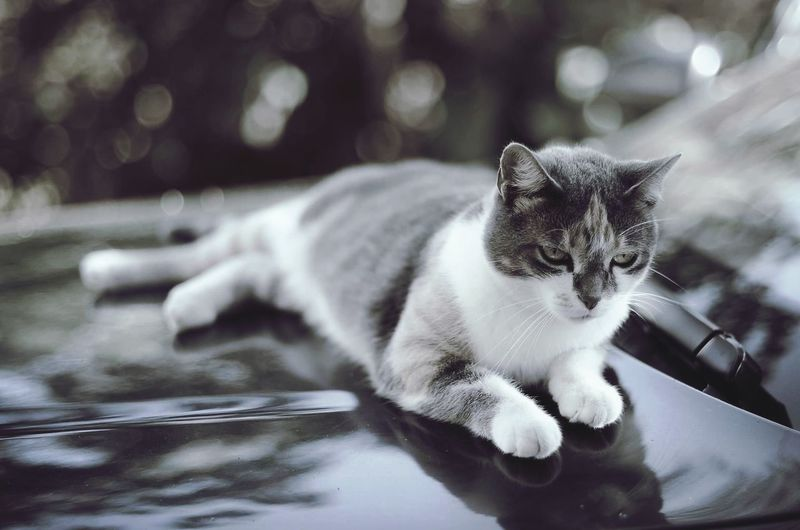 Cat looking away while relaxing on car hood