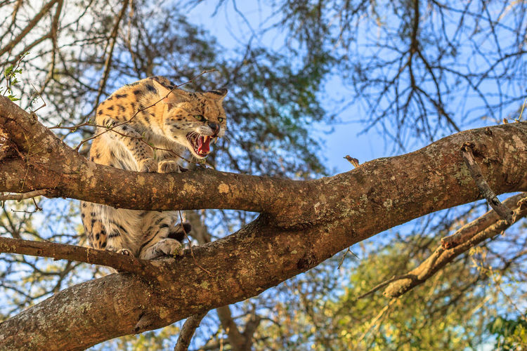 Low angle view of angry big cat sitting on branches