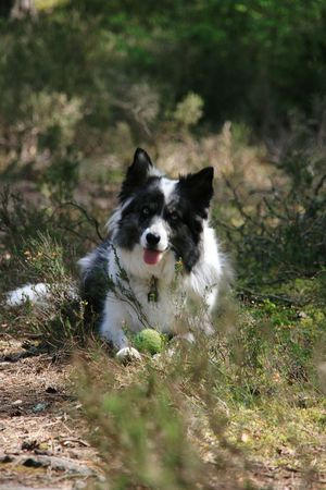 Blue Eyes Woodlands Trail Woodlandwalks In The Woods Summer Walks Companion Canine Pet Photography  Cute Ball Cassie  Collie Collie Dog Blue Merle Dogs Blue Merle Animal Playtime Lossiemouth Scotland Dog Walking Moray Coast Scotland 💕 Scotlandsbeauty Nature_collection