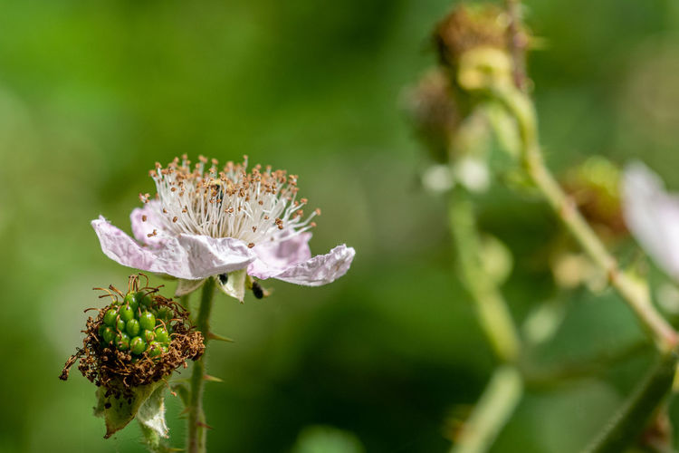 Flower of wild blackberry