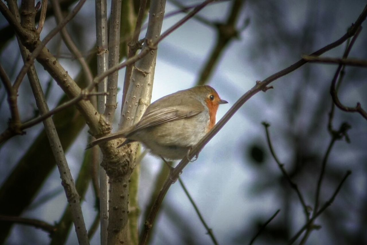 one animal, perching, animal themes, branch, bird, animals in the wild, no people, animal wildlife, bare tree, nature, robin, day, tree, outdoors, beauty in nature, close-up