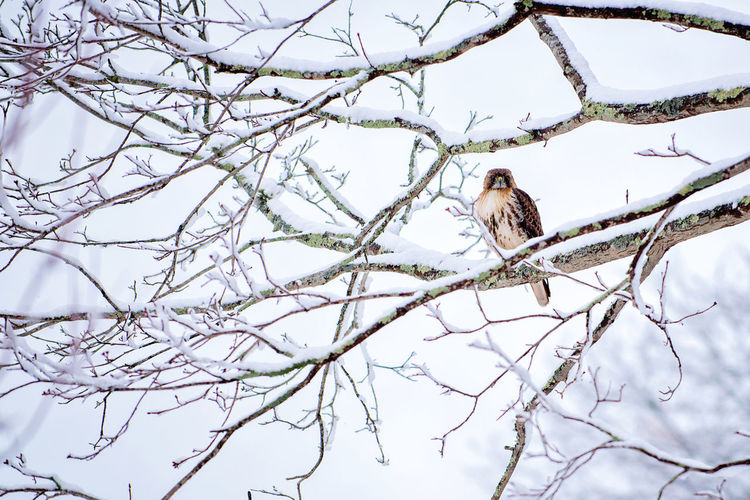 Bird of prey hawk on a snow covered branch Birds Birds Of EyeEm  Birds Of Prey Hawk Hawks March March Showcase Nature Nature Photography Newengland Prey Animal Wildlife & Nature Winter Trees