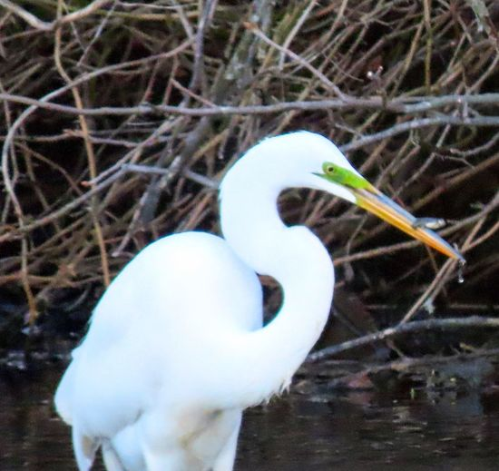 Great egret with lunch fish closeup birdwatching focus on the foreground beauty in nature outdoors Birds of EyeEm Animal Themes Animal Wildlife One Animal No People