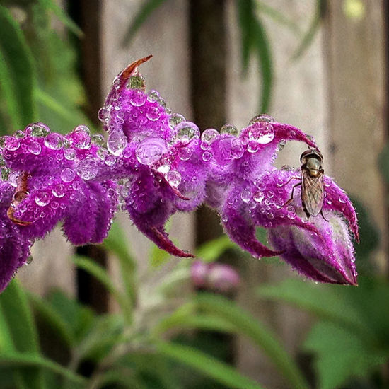 Tiny native bee and raindrops on purple sage flower. After Rain After The Rain Beauty In Nature Blooming Close-up Flower Flower Head Fragility Freshness Garden Garden Flowers Garden Photography Growth Insect Nature No People Outdoors Pollination Purple Sage Raindrops Raindrops On Flowers