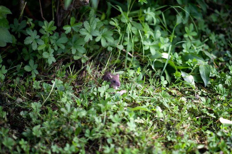 Little grey field mouse in a bush, France Animals In The Wild EyeEm Best Shots EyeEm Selects The Week on EyeEm Animal Animal Themes Close-up Field Mouse Fieldmouse Grass Green Color Grey Leaf Mouse One Animal Outdoors Photography Plant Plant Part Rodent Selective Focus Small Wildlife