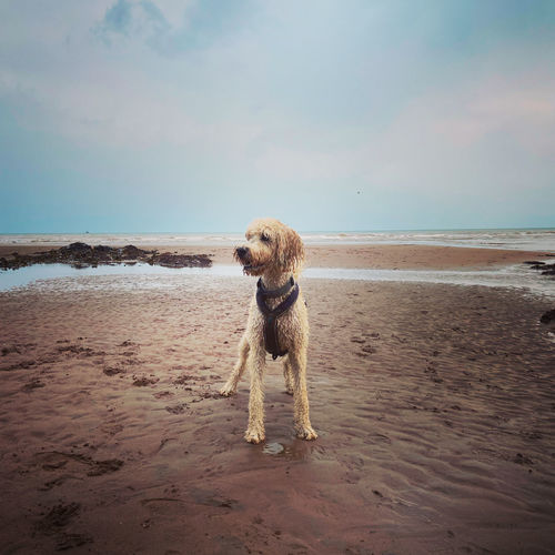Labradoodle on beach