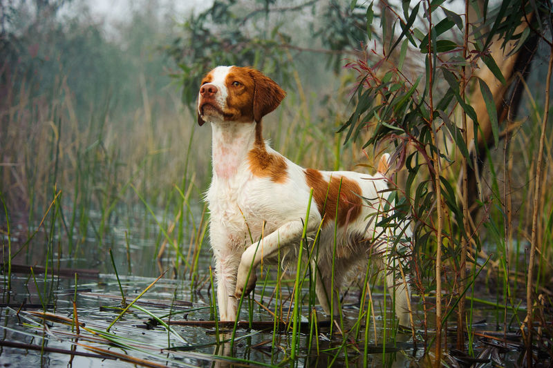 Brittany Spaniel dog Brittany Spaniel Canine Day Dog Hunting Dog Mammal Outdoors Pet Portrait Spaniel