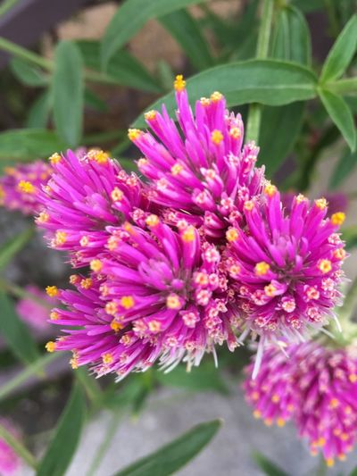 Flower Nature Freshness Fragility Growth Beauty In Nature Plant Petal Close-up Flower Head Purple Blooming No People Outdoors Day Hylotelephium Telephium (L.) H.Ohba LiveLong Orpine