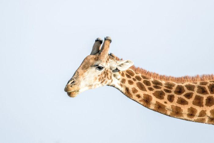 The Week On EyeEm Giraffe Wildlife 760D EyeEm Selects No People Outdoors South Africa Inverdoorngamereserve