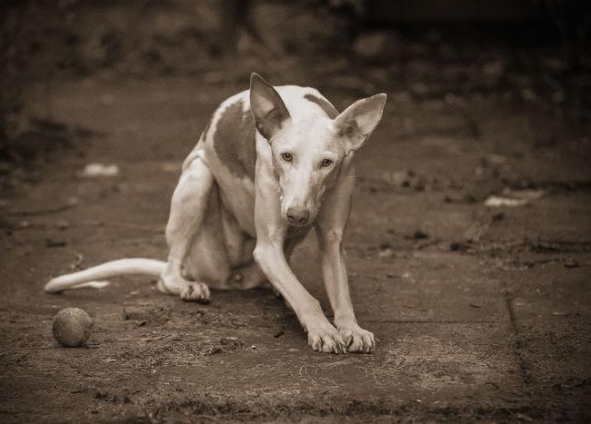 Alone! Alertness Animal Curiosity Dog Dog❤ Friend Ibizan Hound Looking Loyal Podenco Ibicenco SPAIN Spanish