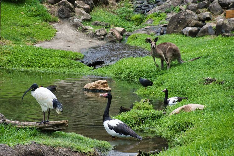 Drink spot Kangaroo Group Of Animals Animal Themes Animal Vertebrate Animals In The Wild Animal Wildlife High Angle View Nature Green Color Bird Water No People Outdoors