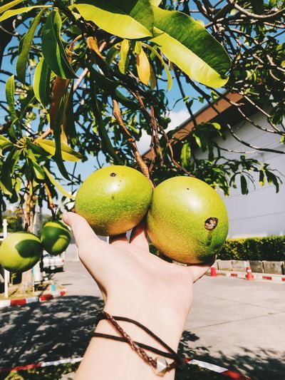 Fruit Food And Drink Human Hand Healthy Eating Food Hand One Person Human Body Part Wellbeing Tree Freshness Real People Green Color Holding Plant Leaf Nature Lifestyles Day Outdoors Apple Finger