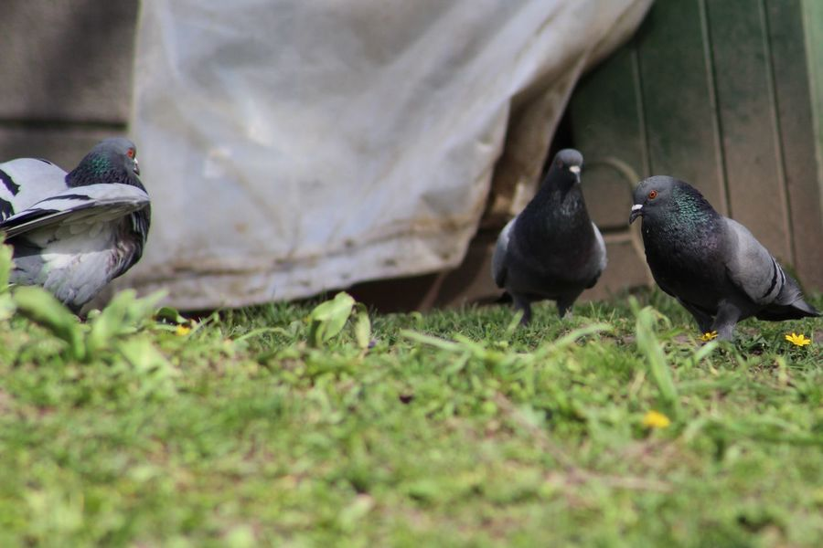 Animal Themes Animals In The Wild Bird Close-up Day Focus On Foreground Grass Grassy Nature No People Outdoors Perching Pigeon Ready To Fight Selective Focus Showcase April Three Animals Wildlife The Street Photographer - 2016 EyeEm Awards
