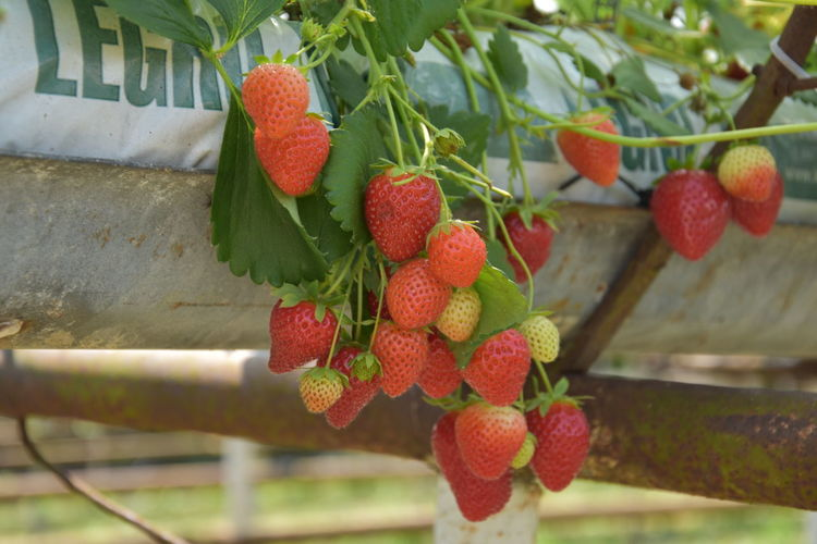 Agriculture Berry Fruit Close-up Day Focus On Foreground Food Food And Drink Freshness Fruit Growth Healthy Eating Leaf Lychee Nature No People Outdoors Plant Plant Part Red Ripe Strawberry Wellbeing