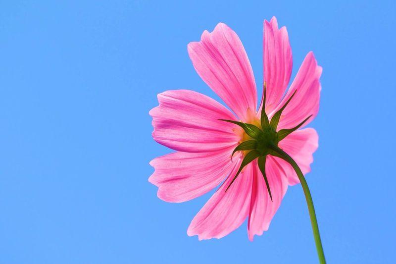 秋桜2 Flower Fragility Flower Head Beauty In Nature Freshness Pink Color