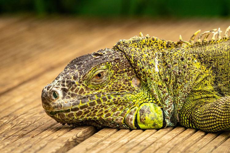 Close-up of iguana on wood