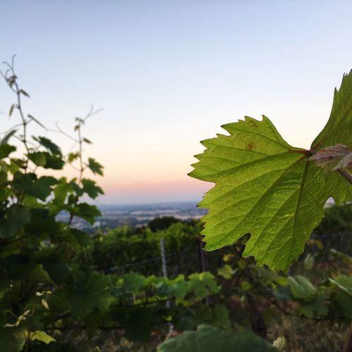 Vineyard Wine Culture Wine Leaves