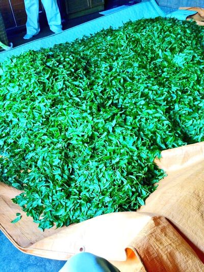 Greentea Green Japanesetea Japan Today New Tea 夫の実家はお茶もやってます🍃 大子町の奥久慈茶うまいっすょ〜🍵💕
