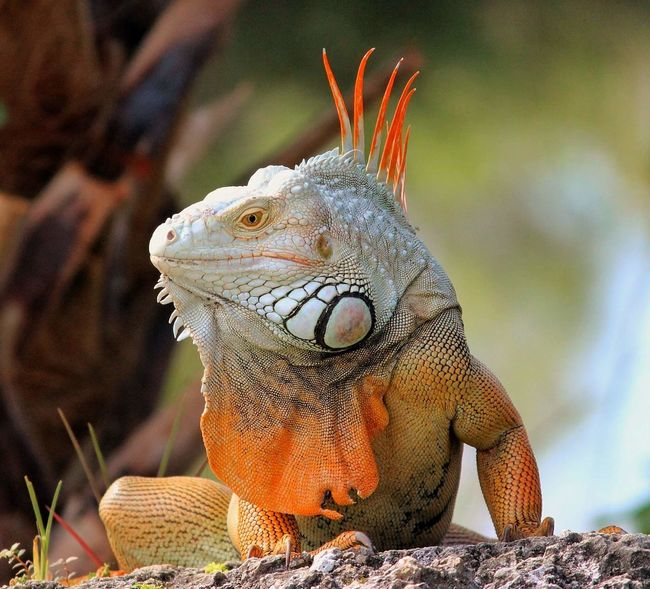 iguana #iguana Reptile Iguana Portrait Close-up Lizard Exotic Pets Animal Scale Animal Skin Animal Markings Skin