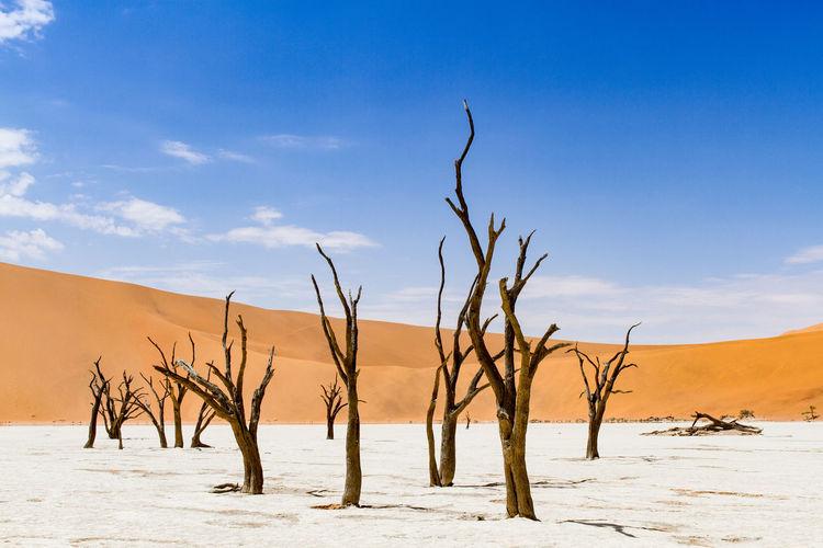 Dead trees on sand against blue sky