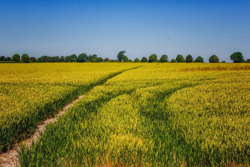 Ridgeway landscape The Ridgeway National Trail Uk Walking Rambling Landscape Plant Field Agriculture Land Environment Growth Beauty In Nature Sky Rural Scene Tranquility Scenics - Nature Tranquil Scene Crop  Farm Flower Yellow Nature No People Flowering Plant