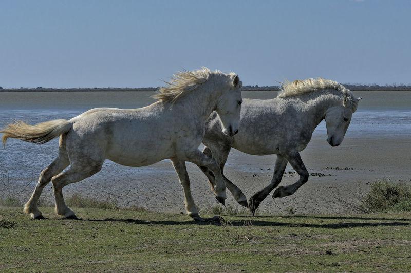 Horse running on beach against sky