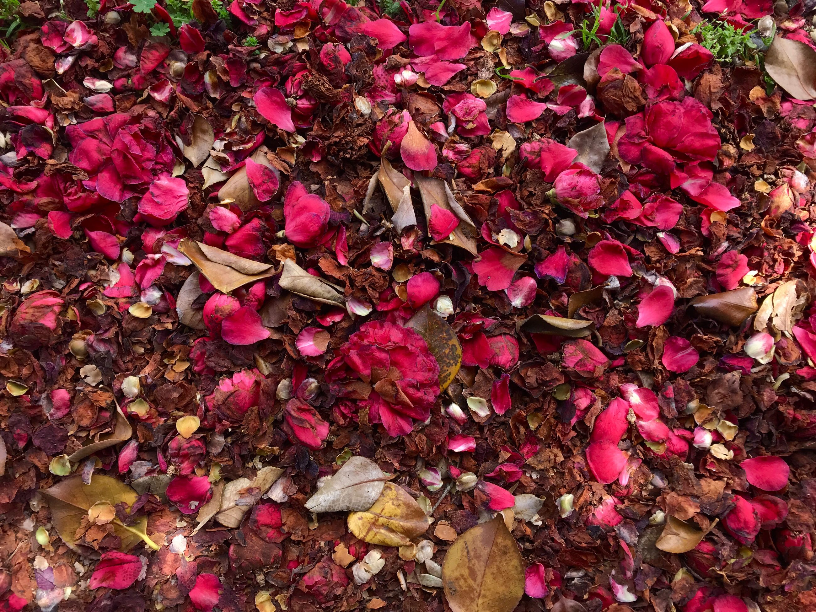 full frame, flower, pink color, abundance, plant, beauty in nature, backgrounds, nature, large group of objects, petal, flowering plant, no people, freshness, high angle view, rose petals, close-up, rose - flower, rose, outdoors, dry, luxury, purple