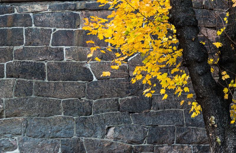 Yellow Plant Autumn Wall Outdoors Brick Tree Brick Wall City Plant Part Stone Wall Yellow Leaves Maple
