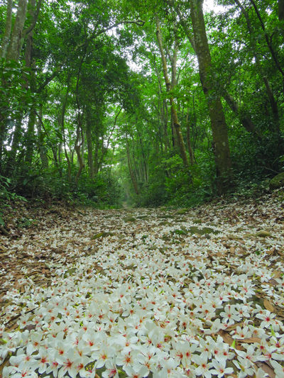 Quiet forest, floating under the white tung flowers, covered with country roads. Country Road Falling Natural Beauty In Nature Day Falling Flowers Forest Fresh Growth Leaf Nature No People Outdoors Peaceful Plant Plant Flowers Scenics Tranquility Tree Tung Blossom White Flowers WoodLand