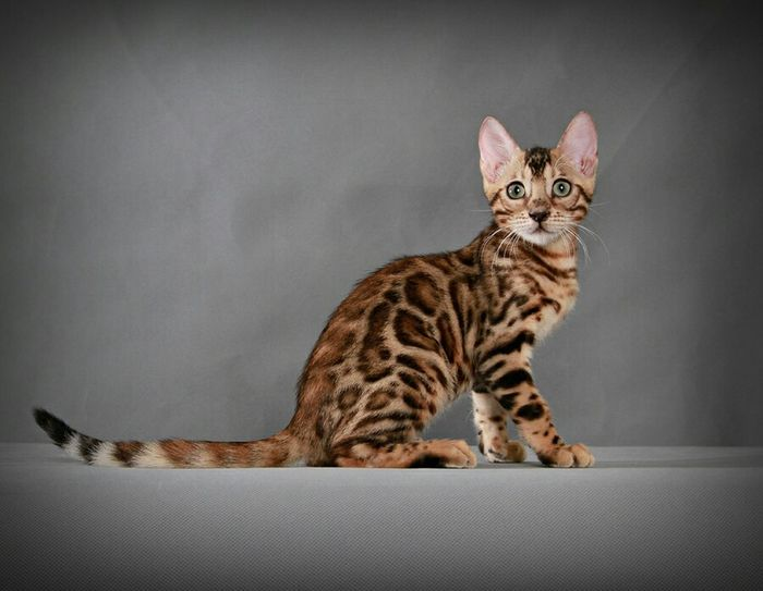 Cute Pets Petstagram Bengal Cat Pet Photography  EyeEm Animal Lover EyeEm Indonesia Meow Animal Pets Cats