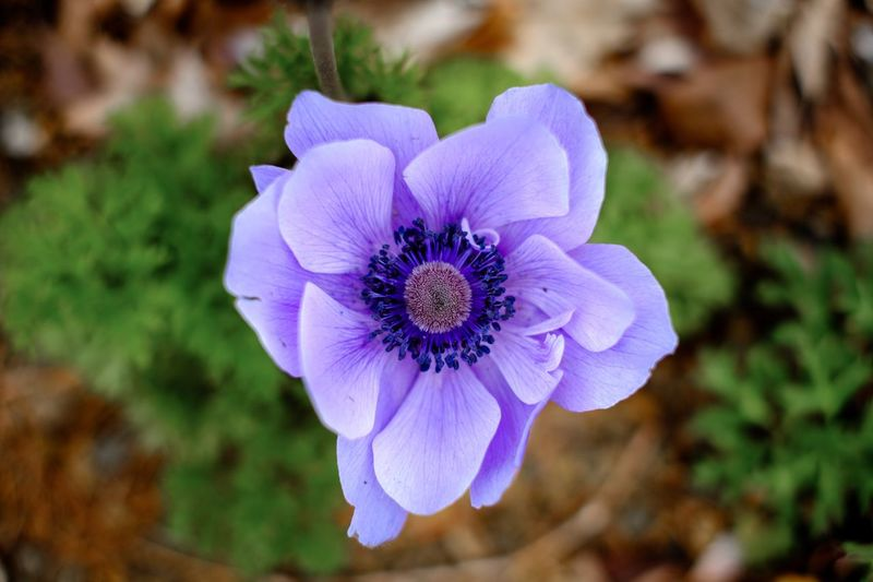 Pollen Pollen Flower Petal Fragility Purple Beauty In Nature Nature Flower Head Freshness Blooming Plant Close-up Growth No People Day Outdoors