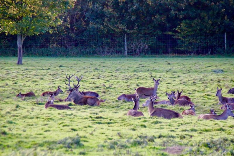 Animals In The Wild Animal Themes Animal Wildlife Grass Large Group Of Animals Nature Tree Outdoors Animal No People Day Mammal Safari Animals Landscape Bird Togetherness Beauty In Nature Deer Deerpark Lotherton Hall