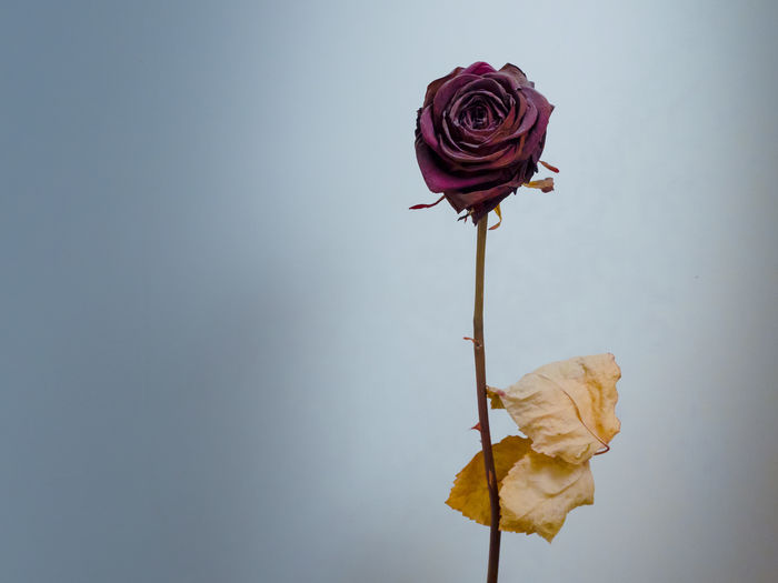 Beauty In Nature Close-up Day Dried Dried Flowers Dried Plant Flower Flower Arrangement Flower Head Fragility Freshness Growth Nature No People Outdoors Petal Plant Rose - Flower Rose🌹 Sky Wilted Plant