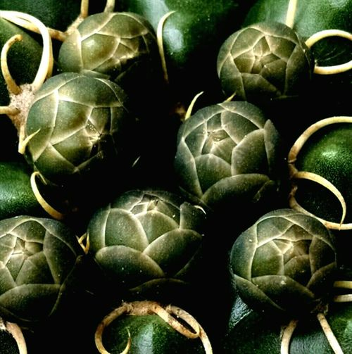 Macro Nature Plantography Cactusbuds Expectingblooms Greenbabies Cactuslover Pseudoartichoques EyeEm Nature Lover Green Cactusclub