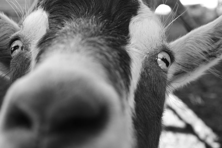 Mammal Animal Animal Themes One Animal Close-up Animal Body Part Animal Head  Domestic Animals Pets Domestic Vertebrate No People Livestock Day Portrait Selective Focus Animal Wildlife Donkey Outdoors Herbivorous Snout Animal Eye Animal Nose