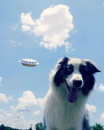 Australianshepherd Iwanttobelieve Aussies Aussieaddict Dog Pet Modeling Hollywood Bmovie Thetruthisoutthere Xfiles UFO WorldUFODay