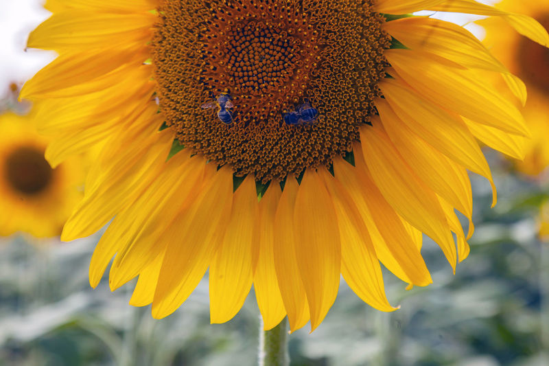 Flowering Plant Flower Fragility Vulnerability  Yellow Petal Beauty In Nature Freshness Flower Head Plant Growth Close-up Inflorescence Pollen No People Nature Focus On Foreground Sunflower Day Outdoors