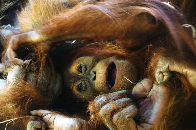 Close-up No People Animal Themes Brown Animal Body Part Animal Wildlife Mammal Orangutan Portrait Animals In The Wild Day Outdoors Nature Happiness Mother And Baby Mum And Son Puppy Animal Love Loveanimals