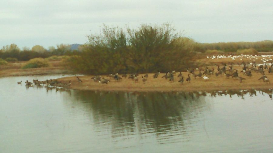 Arizona Check This Out Taking Photos Nature_perfection Natureporn Geese Migration Geese Gathering Ducks And Geese
