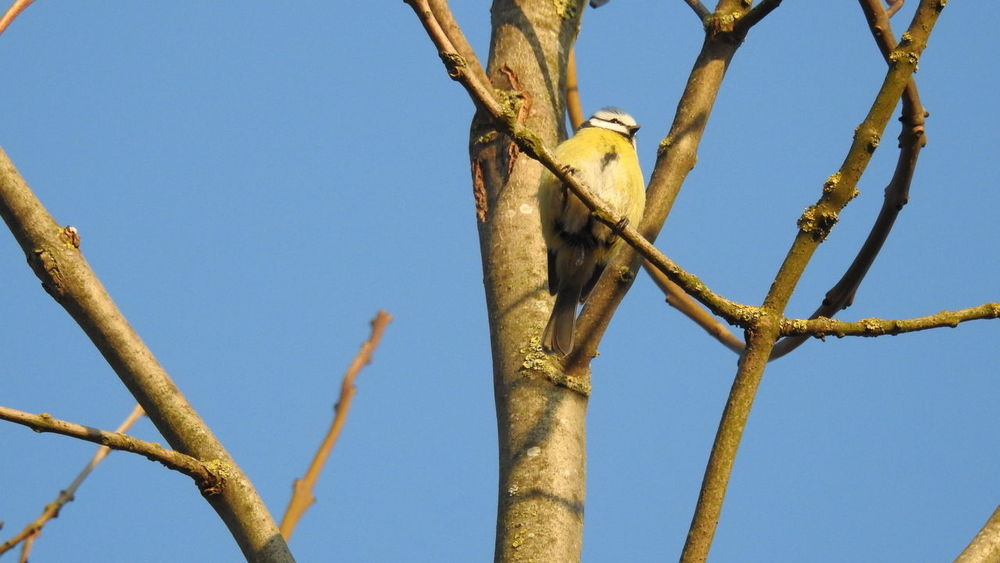 Animal Themes Animals In The Wild Beauty In Nature Bird Blue Branch Clear Sky Close-up Day Low Angle View Nature No People Outdoors Perching Sky Sunlight Tomtit Tree Paint The Town Yellow