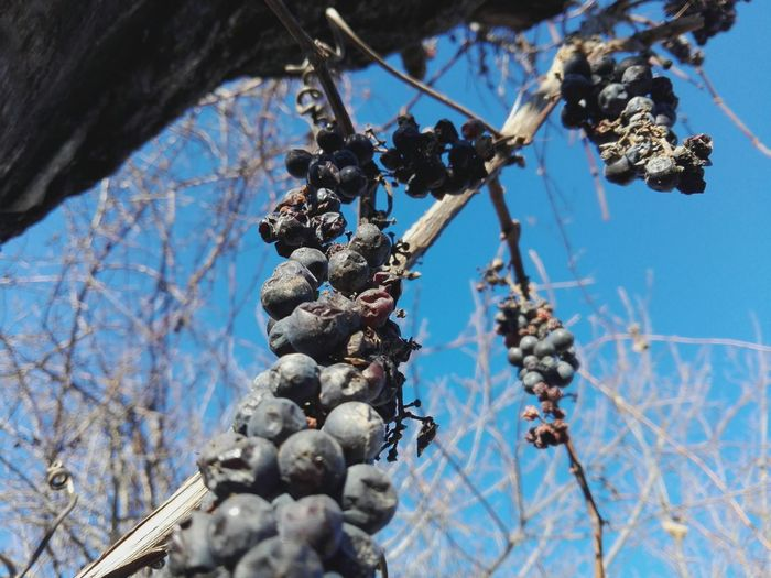 grapes on vines WOLFZUACHiV PREMiUM Veronica IONITA Photography Veronica WOLFZUACHiV VERONiCA Photography EyeEm Selects The Week On EyeEm No Person No People Selected For Premium WOLFZUACHiV Photography Edited By @WOLFZUACHiV WOLFZUACHiV Photos On Market Wolfzuachiv Huawei Photography Veronica Ionita Ionita Veronica Eyeem Market Huaweiphotography Sky And Branches Sky And Trees Blue Sky Grape Grapes Slowfood Fruits Fruit Nature Close-up Perspectives On Nature Food Stories Visual Creativity