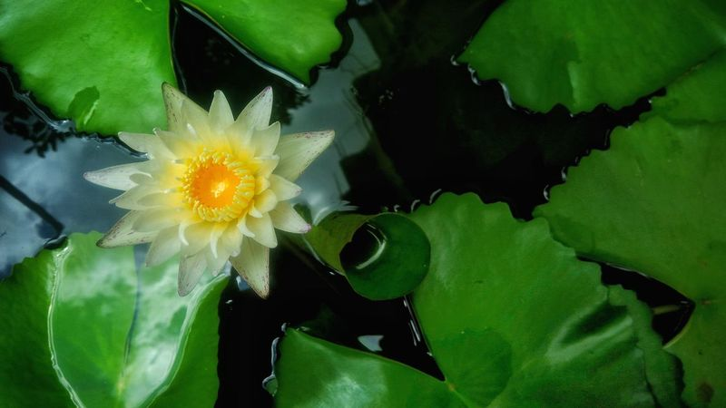 Beautiful white lotus Flower Lotus Whiteflower Whitelotus Floral Freshness Nature Beautiful Nature Colorfulflower Flora Plant Beauty In Nature Colorful