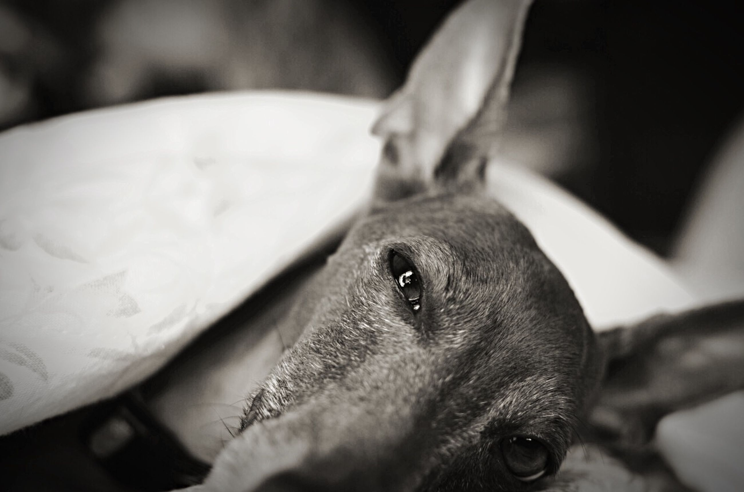 animal themes, one animal, pets, domestic animals, indoors, close-up, mammal, animal head, dog, animal body part, focus on foreground, selective focus, looking at camera, black color, portrait, part of, no people, relaxation, animal eye, home interior