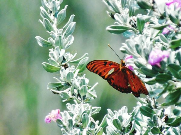 """""""We delight in the beauty of the butterfly, but rarely admit the changes it has gone through to achieve that beauty."""" Maya Angelou Butterflies Butterfly Flowers Purple Flower Malephotographerofthemonth Tadaa Community Beautiful Nature My Back Yard Nature Photography Good Morning"""