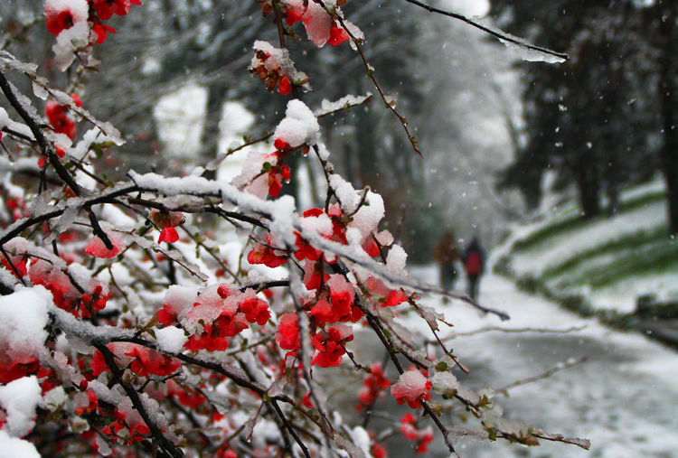 Close-Up Of Snow Covered Branches By Footpath