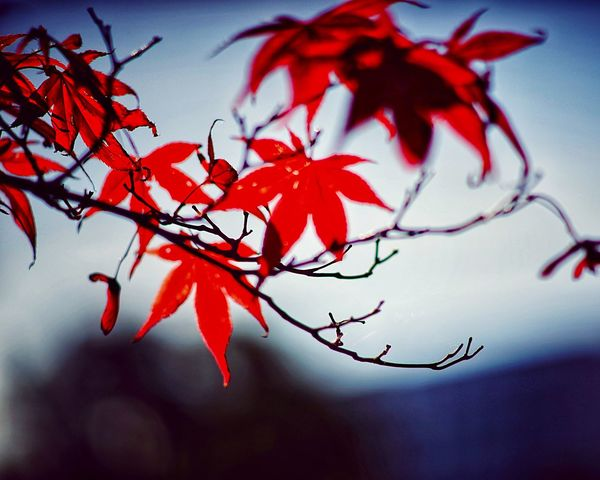 Autumn 🍂 Leaves 🍁 Autumn Leaves Branch Red Plant Part Tree Leaf Plant Autumn Focus On Foreground Growth Outdoors Tranquility Day Change Selective Focus Leaves Sky No People Beauty In Nature Close-up Nature
