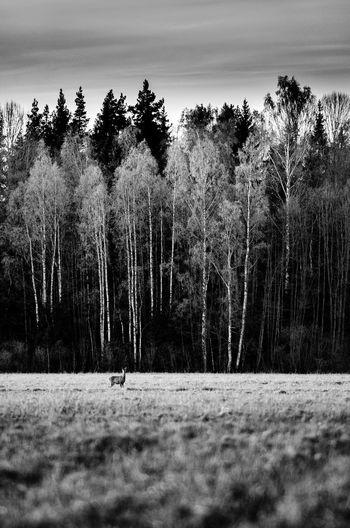 Roe deer in the evening Autumn Black & White Dark Deer Estonia Field Fine Art Photography Trees WoodLand Animals Beauty In Nature Blackandwhite Contrast Day Europe Monochrome Nature No People Outdoors Roedeer Tree Wildanimal Wilderness Woods